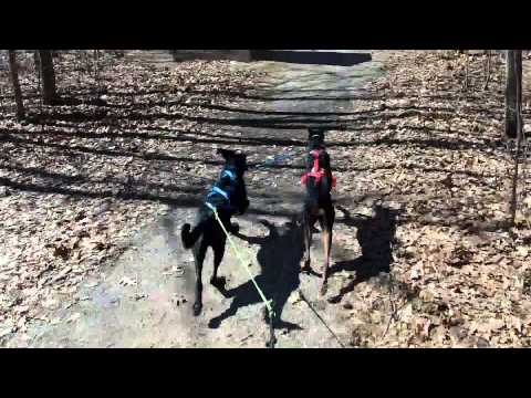 Bikejoring with Doberman Pinscher and German Wirehaired Pointer Mix