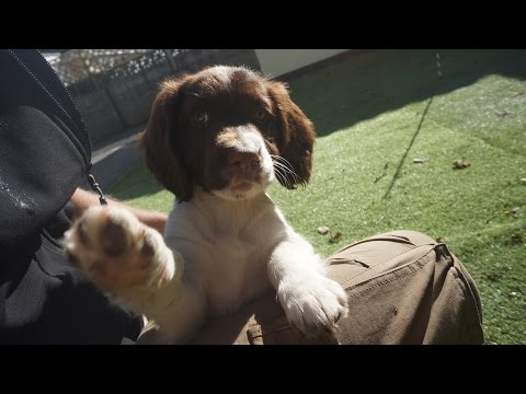 9 Week old Puppy  Springer Spaniel  (02nd Day in New Home)