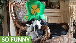 Festive Great Dane gets ready for St. Patrick's Day