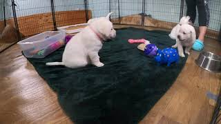 L VE PUPPY CAM Cute Lab Puppies Livestream From Their Play Room