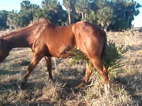 Pferdemuschi