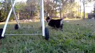 Corgis Playing: Corgi Puppy Stampede!