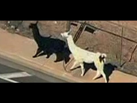 The greatest llama chase of the 21st Century video