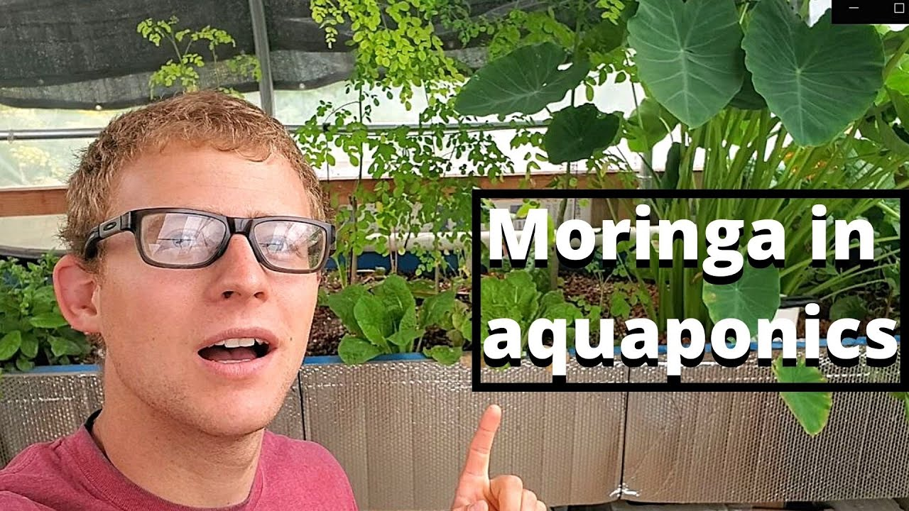 Moringa in aquaponics system update (growing moringa in aquaponics)