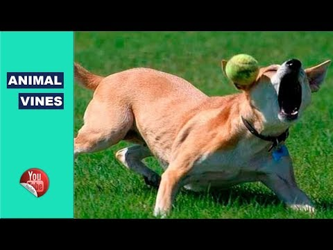 Funny Dog Fail Compilation 2017 – TRY NOT TO LAUGH or GRIN || Funny Animal Vines