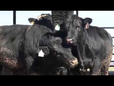 ComfortBrush - Rotating Cow Brush, Cattle Brush | FutureCow
