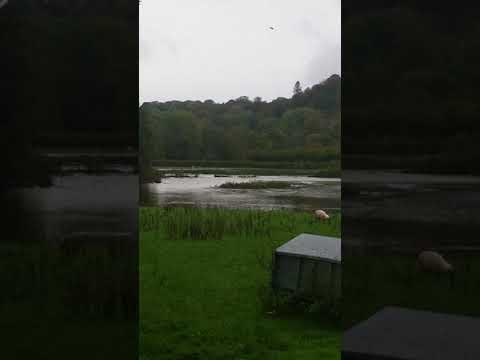 Sheep stranded in the flooded River Teifi
