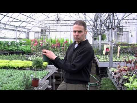 Myrtle Topiary