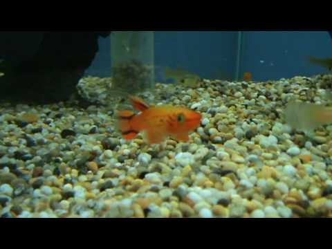 Aphyosemion Australe 39 Hjersseni 39 Killifish Golden
