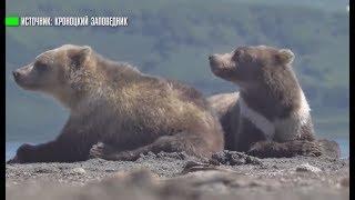 Белый воротничок: на Камчатке замечена необычная бурая медведица