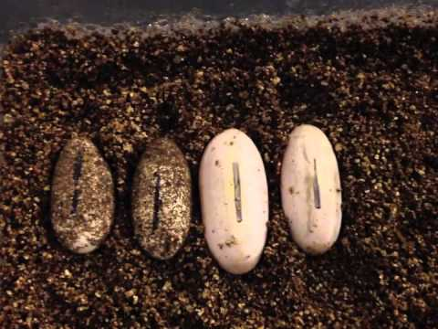 Leopard Gecko Water Eggs Sweating Youtube