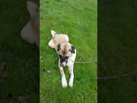 Puppy introductions. Sox the Anatolian Shepherd dog meets Mr. Brown, the JR livestock guardian dog
