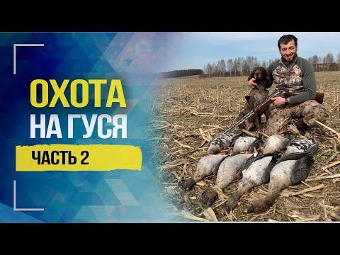 Весенняя охота на гуся в Беларуси. Часть 2   2020