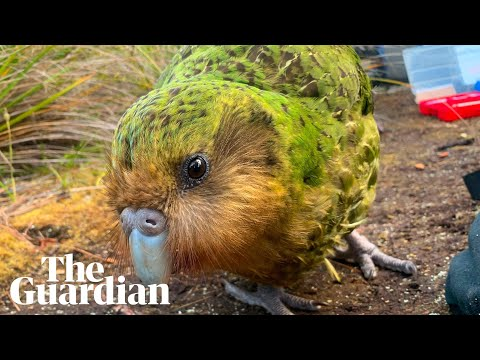 World's fattest parrot, the endangered kākāpō, could be wiped out by fungal infection