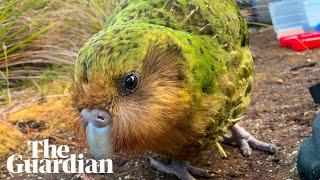 Kākāpō: four facts about the world's fattest parrot