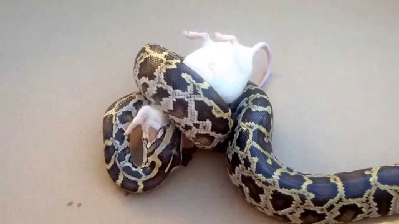 Burmese Python Care Guide - Reptiles-N-Critters