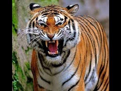 tiger - photo #31