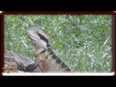 Australian Eastern Water Dragon / Wildlife in My Backyard