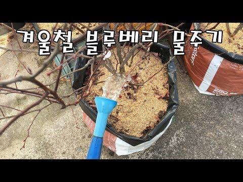 겨울철 블루베리 물주기 [Winter Blueberry Water Supply]