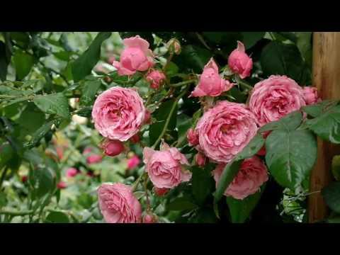 Pomponella Rose (Bred by ordes & Sons, W- Floribunda rose)