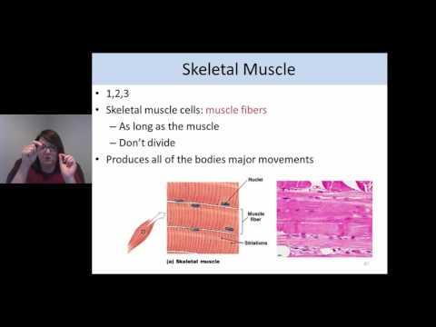 Histology: Muscle tissue