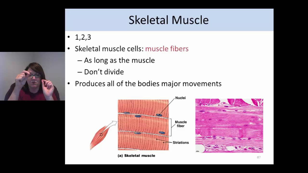 Histology Muscle Tissue Youtube