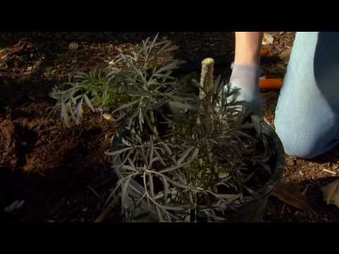 Planting an Elderberry Plant