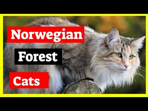 Norwegian Forest Cat - History of Norwegian Forest Cat