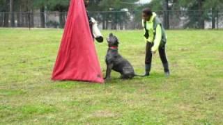 La Onda / Scandifio Damian Cane Corso Schutzhund I Protection Training 03/28/2010