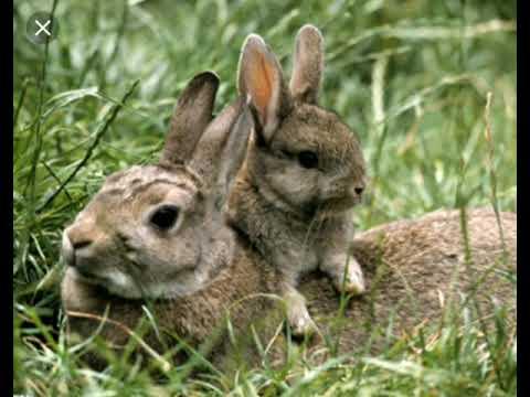 Чем отличаются заяц русак и заяц беляк ?