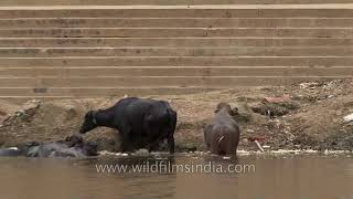 Buffalo wading in the banks of Ganges
