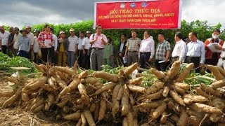 The cassava revolution in Vietnam