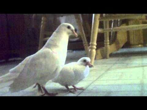 amazing singing dove