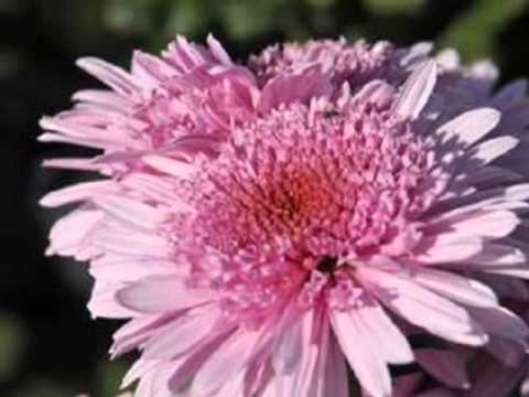 Королева осени - хризантема