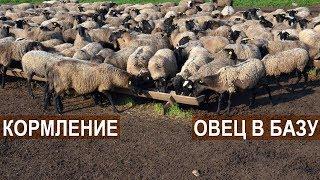 КОРМЛЕНИЕ ОВЕЦ В БАЗУ. Племрепродуктор - Ферма Покров