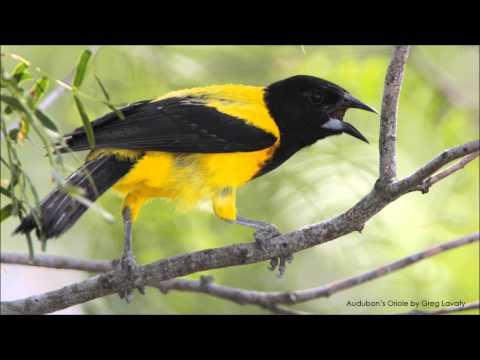 Audubon's Oriole Song