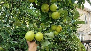 Xem cảnh mưa táo,  thu hoạch và ăn táo tai gốc cây, New York, My.