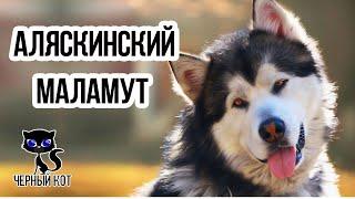 Маламут / Интересные факты о собаках