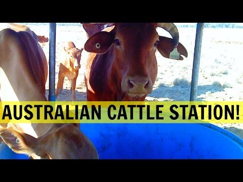 WORKING ON A CATTLE STATION IN AUSTRALIA: WHAT TO EXPECT
