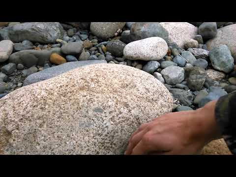 Northern alligator Lizard snake with legs Vancouver island British Columbia