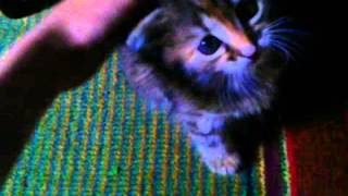 Мой котёнок Пушинка