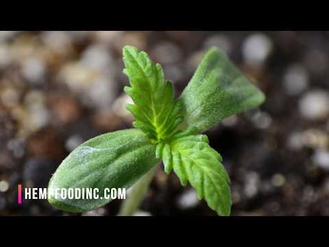 Industrial Hemp Production 101 Guide (2019)