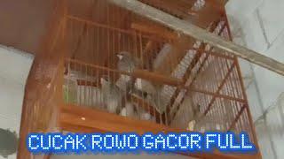 CUCAK ROWO GACOR FULL