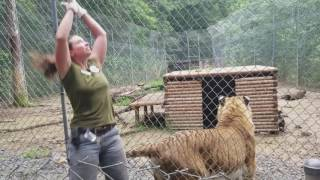 Tiger World - Ti-Ligar Tries to Eat Trainer