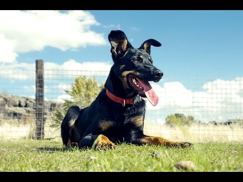 Australian Kelpie Working - Stock Dog Training