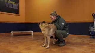 Best Dog Training Toledo, Ohio! 4 Year Old Belgian Malinois/German Shepherd Mix Kitty!