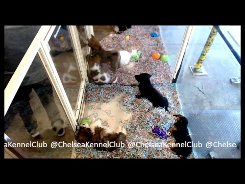 Chelsea Kennel Club Puppies