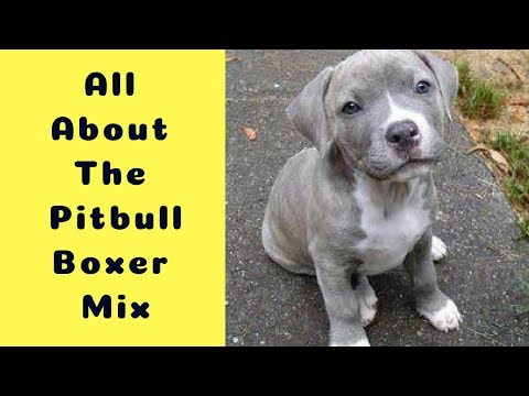 All About The Pitbull Boxer Mix (The Bullboxer Pit)