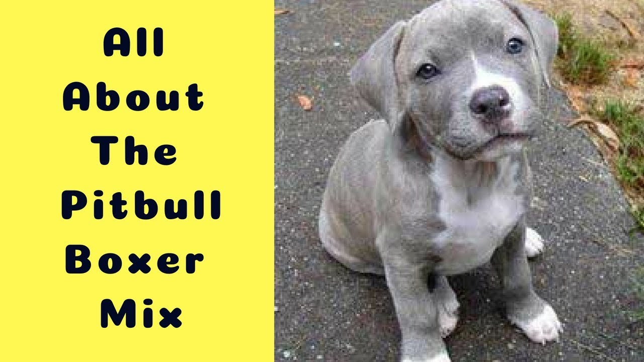All About The Pitbull Boxer Mix The Bullboxer Pit Youtube
