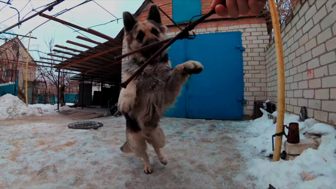 Немецкая овчарка - областная выставка собак
